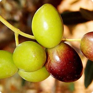 Carolea e olio extra vergine di oliva tesoridesole