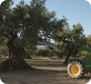 Raccolta meccanica olive per produzione olio extravergine tesoridelsole lametia dop.